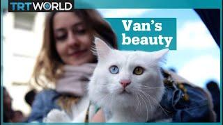 Cat beauty contest in Van, Turkey