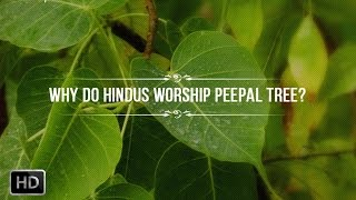 Why do Hindus Worship The Peepal Tree - Scientific Benefits and Hindu Mythology