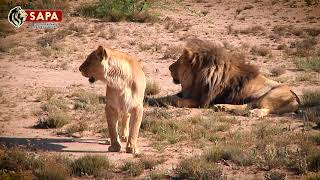 Captive-bred Lions Released into the Wild