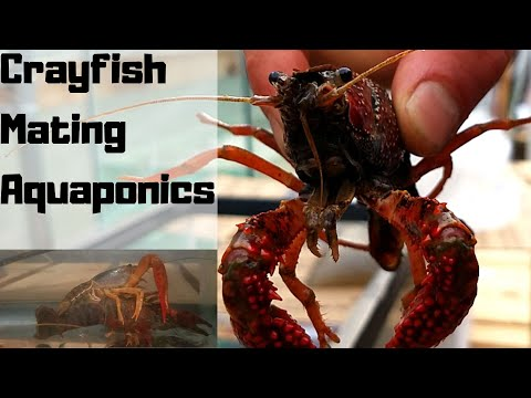 Crayfish mating – Crayfish for aquaponics  part 2 – (hybrid aquaponic system)