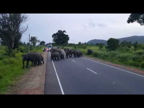 Wild elephants crossing a road in Habarana, Sri Lanka