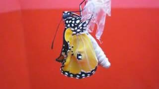 這是樺斑蝶羽化過程,我發現她剛從蛹裡出來時,腹部顯得胖胖鼓鼓的,接著...