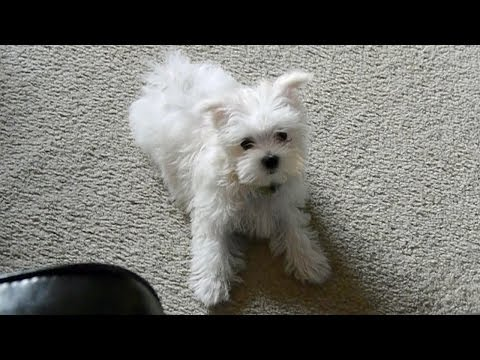 Cute Maltese puppy dog barking and playing funny videos puppies doing cute dogs bark things
