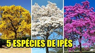 5 espécies de Ipês Árvores Nativas do Brasil