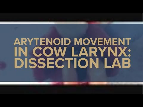 Arytenoid Movement in Cow Larynx