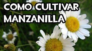 Como cultivar manzanilla