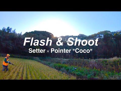 """【飛鳥射撃】flash-&-shoot-・setter-×-pointer-""""coco"""""""