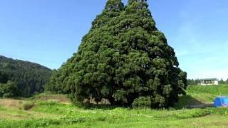 山形巨木巡礼 Vol.3「小杉の大杉」トトロの木