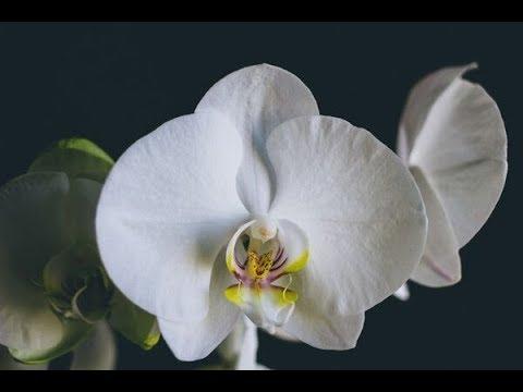 🌸Продажа орхидей по Украине.  Отправка в любую точку. (завоз 7 июня 19 г.) ЗАМЕЧТАТЕЛЬНЫЕ КРАСОТКИ