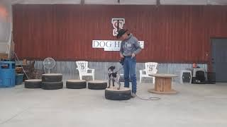 Teaching a puppy to sit using leash pressure.