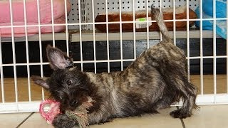 Cairn Terrier, Puppies, For, Sale, In, Jackson, Mississippi, Ms, Clinton, Pearl, Horn Lake