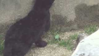 2014.3.14 神戸市立王子動物園にて撮影。 生後3ヶ月半くらいの黒色ジャ...