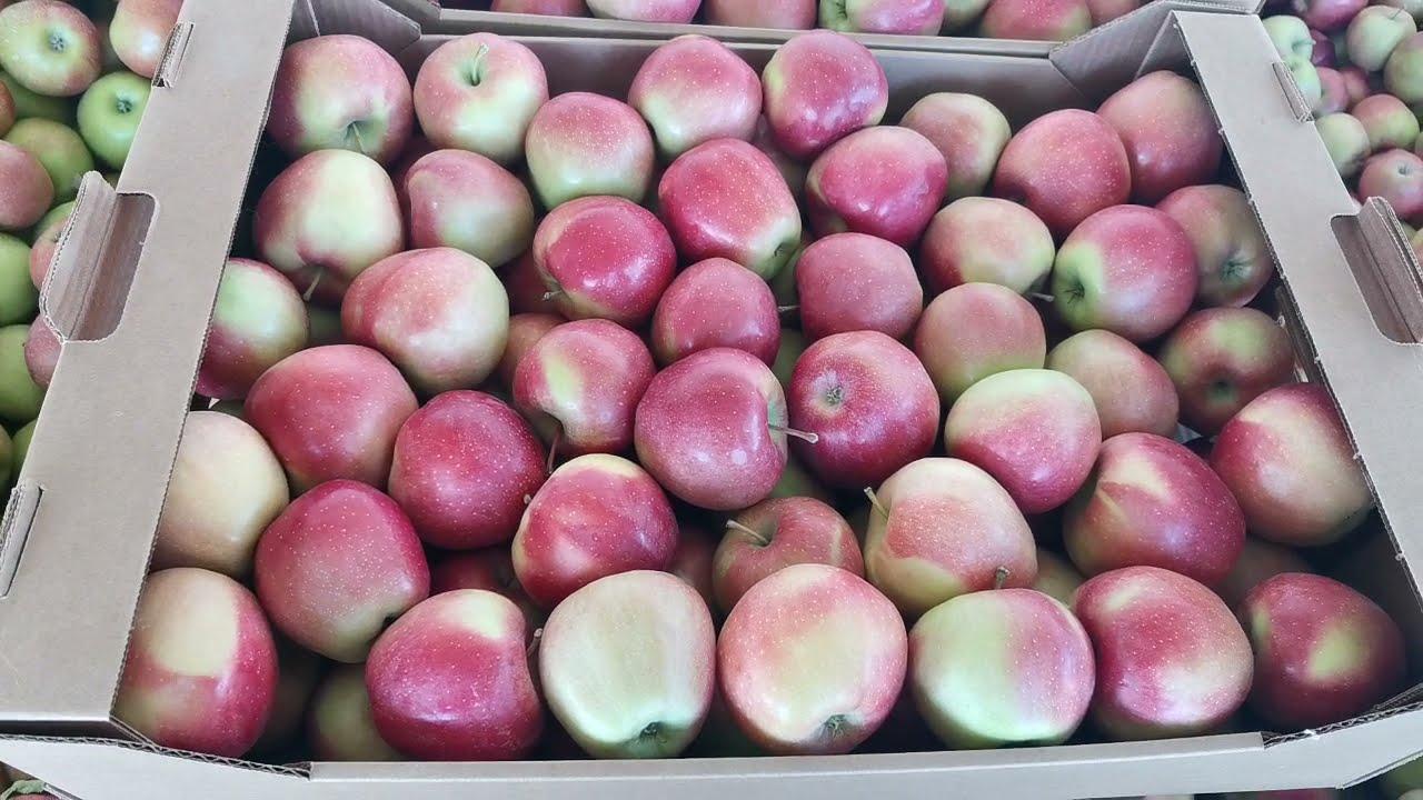 Яблоки оптом. Глостер 65+ (1 сорт). РостАгроЭкспорт