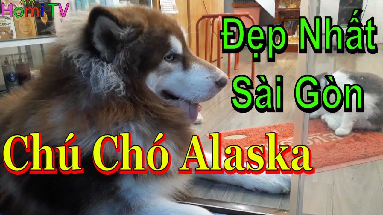 Bé Homi Gặp Chú Chó Alaska Đẹp Nhất – Chó Alaska To Bằng Con Gấu ❤ Homi ToysReview TV ❤