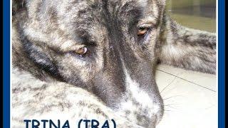 Dr Bujáky: Central Asian Shepherd dog recovery