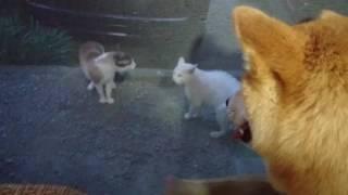 野次馬な柴犬.