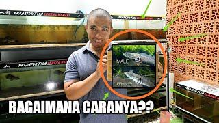 Cara Bedain Jenis Kelamin Channa Pulcra Unboxing Pulcra Dari Snakehead 18plus Youtube