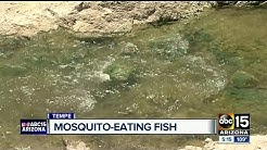 Mosquito eating fish released across Valley canals
