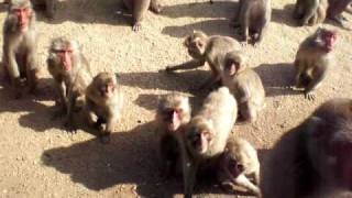 一回100円で猿に餌がやれます。 めっちゃ寄って来ますよ。