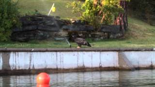 Bald Eagle Toddler has a new toy!