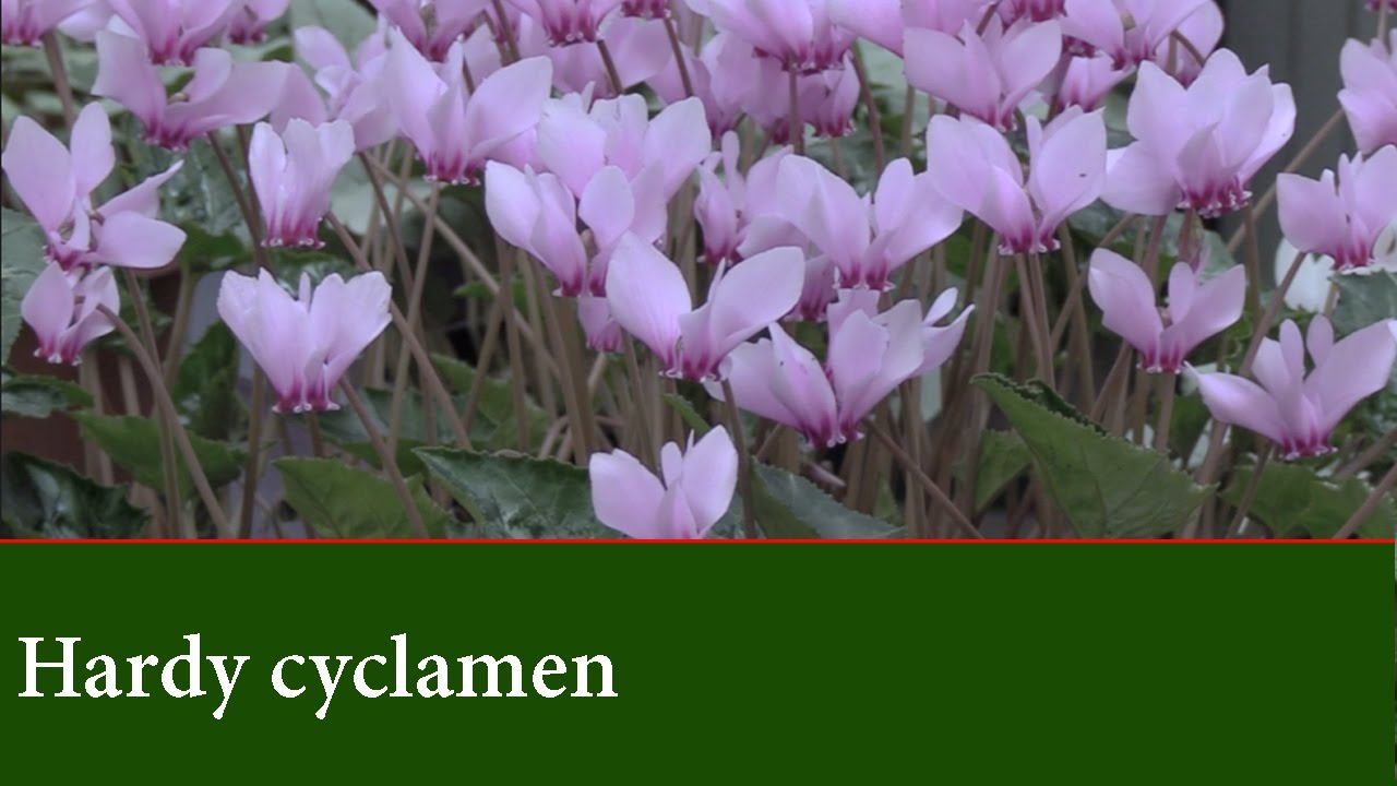 Hardy Cyclamen Plants How To Grow Cylamen Coum And Hederifolium