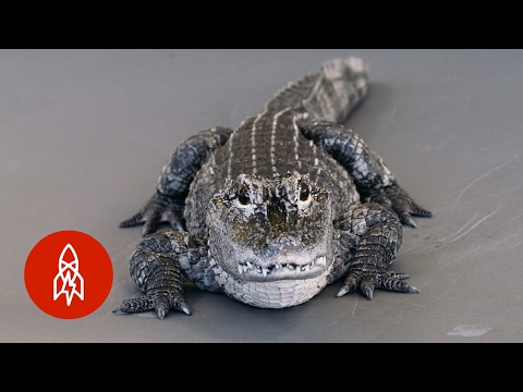 A Pint-Sized Alligator Disappearing From The Wild