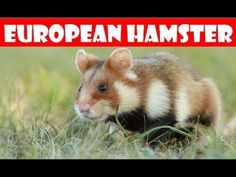 🐹 Brave Feldhamster European Hamster 🐹 Is It Boo The Space Hamster?