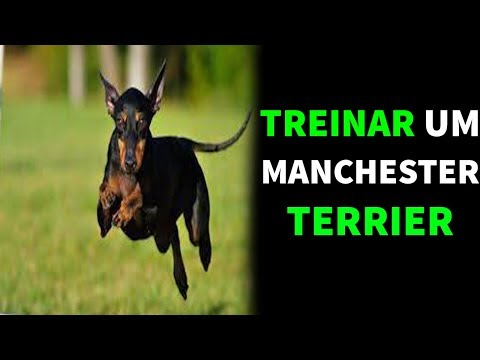 Como Treinar um Manchester Terrier - Adestrar um Manchester Terrier