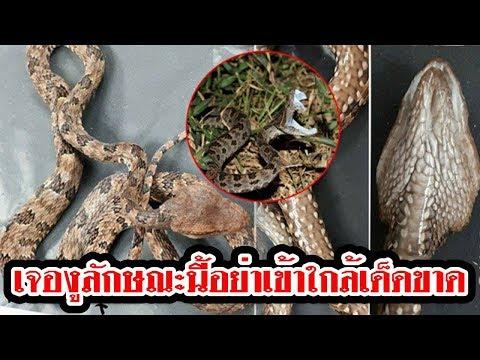 พบงูลักษณะนี้ รีบออกมาให้ไกล หลังชาวบ้านเข้าป่าแล้วโดนกัด เผยเป็นงูพิษชนิดร้ายแรง ที่เพิ่งค้นพบในไทย