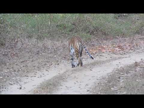 Tiger appears after monkeys alarm calls at Kanha-Feb 2018