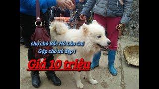 Chợ chó Bắc Hà Lào Cai | Gặp chó xù đẹp có giá 10 triệu | MỚI NHẤT. dog market