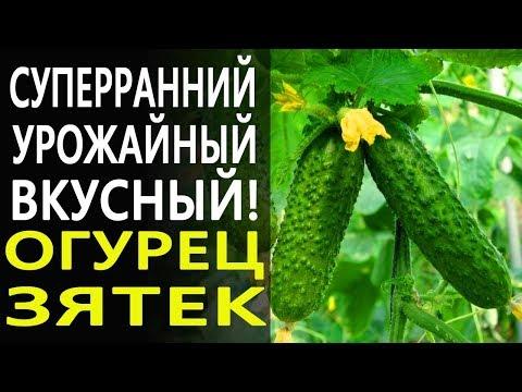 Урожайный, скороспелый и очень вкусный огурец Зятек от агрофирмы Гавриш!