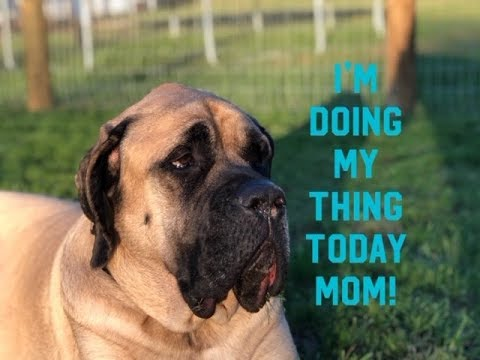 Mastiff With Wobbler Syndrome Has A Hard Time Following Rules