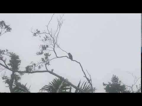 Puerto Rico Parrots