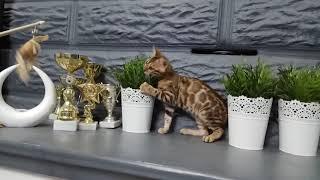Бенгальские котята. Минск