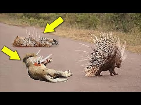 Porcupine Too Danger - Leopard Hunting Porcupine - Big Cats The wound is too deep by the poisonous