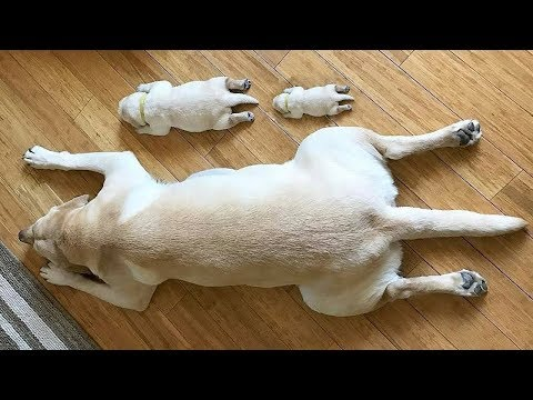 Lazy Dogs Playing Dead ! Hilarious and Amazing Compilation   Funny Everyday