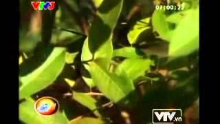 Video: Cây ổi cứ gãi là 'cười' ở Thanh Hóa