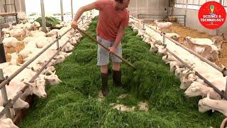 MODERN HIGH-TECH GOAT FARMING-AMAZING GOAT FARM-MODERN TECHNOLOGY LIVESTOCK EQUIPMENT- DAIRY FARMING