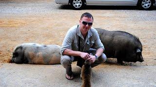 Thailand. Обезьяны и свиньи