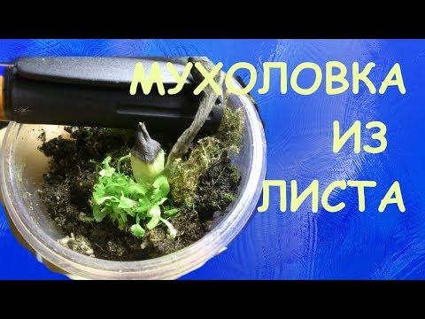 Венерина мухоловка (Dionaea muscipula): размножение листовым черенком