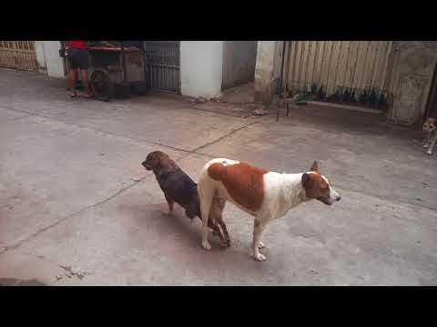 Wow, the dog meet the dog by village KH