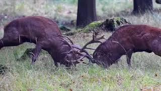 Hirschbrunft 2017 im Wildwald