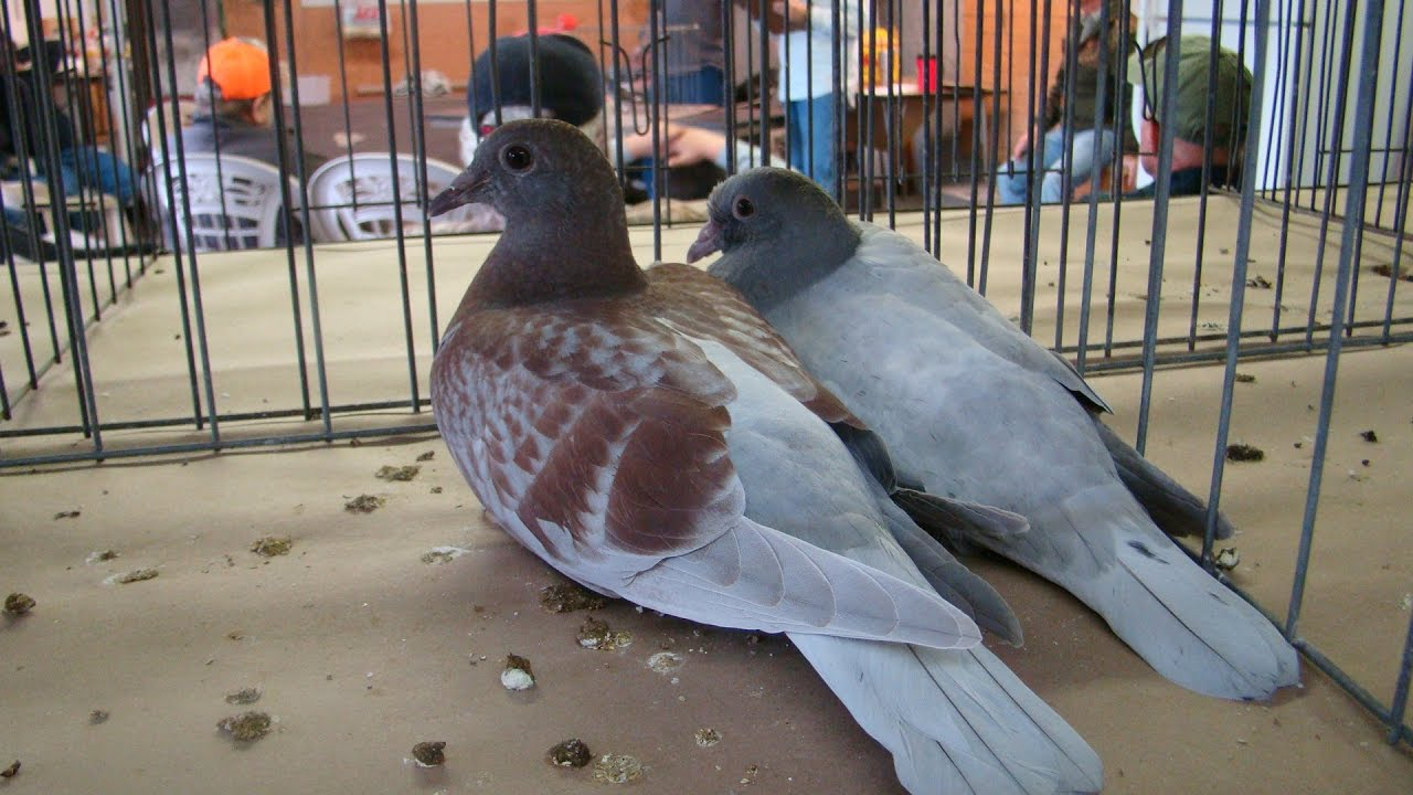 pigeon auction race youtube