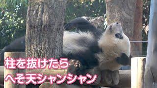 2019/11/20 (4) 柱を抜けたらへそ天になってたシャンシャン Giant Panda Xiang Xiang