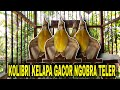 Kolibri Kelapa Gacor Ngobra Teler  Mp3 - Mp4 Download