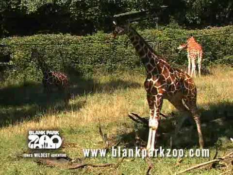 Giraffe at the Blank Park Zoo