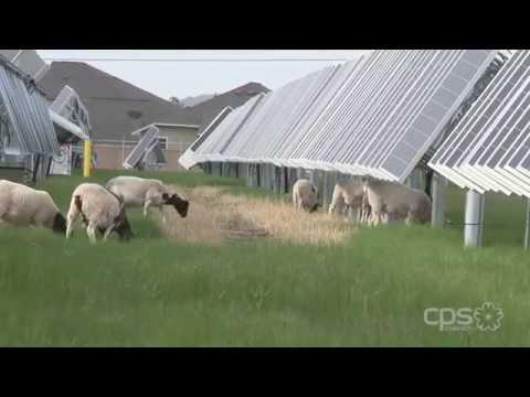 sheep-maintain-the-lambscape-at-local-solar-farm