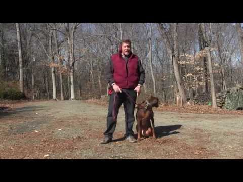 Spartan - Doberman Dog Training King NC