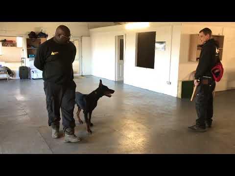 Cesar 8 Month Old Doberman Protection Training off Leash with Autonomous Bite